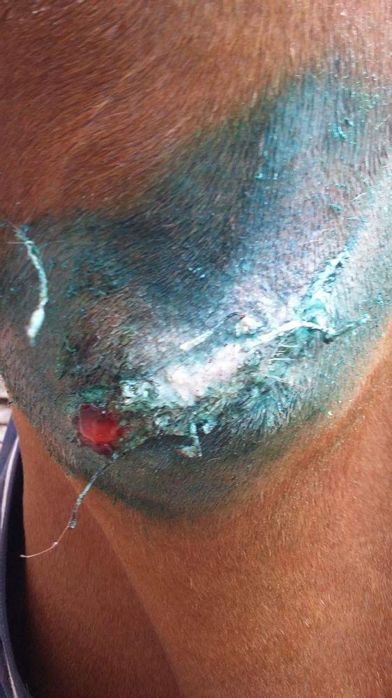 Suintement du pue de la blessure infectée